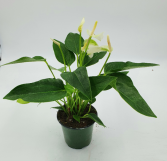 "Anthurium Plant in 4 "" pot Shipped in a box"