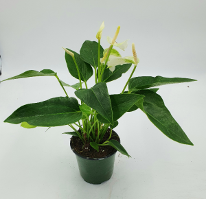 "Anthurium Plant in 4 "" pot Shipped in a box  in Sunrise, FL 