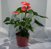 ANTHURIUM PLANT Indoor Blooming Plant