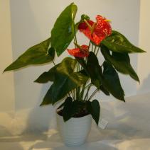 ANTHURIUM PLANT Indoor Blooming Plant