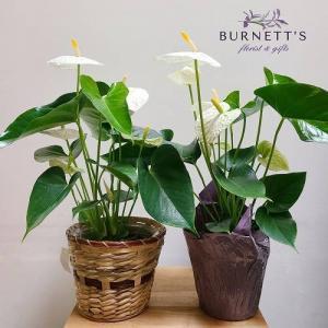 Anthurium Plant in Kelowna, BC | Burnett's Florist