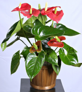 Anthurium plant Plants