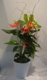 ANTHURIUM PLANTER BLOOMING INDOOR PLANT