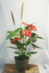 ANTHURIUM PLANTER Indoor Blooming Plant