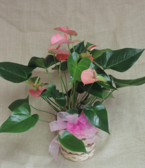 Anthurium Tropical blooming plant, in basket with bow