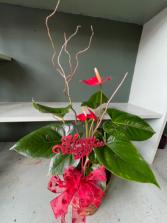 Anthurium  Valentines