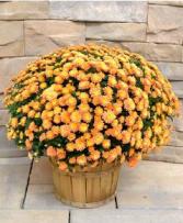 Apple Basket Mum Plant