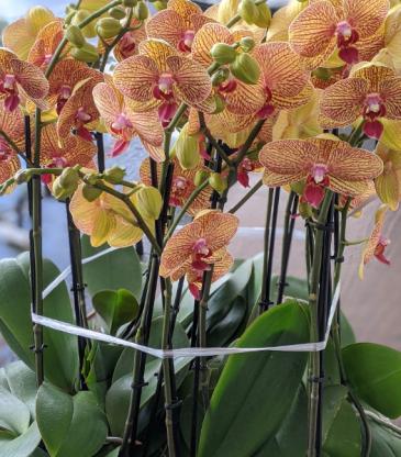 Apricot Orchids