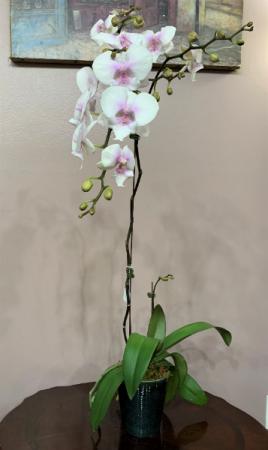 April's Coming Phalaenopsis