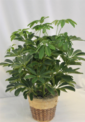 "ARBORICOLA PLANT IN BASKET 6"" GREEN PLANT"