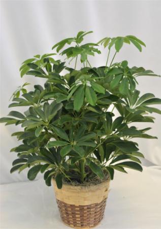 "ARBORICOLA PLANT IN BASKET 6"" GREEN PLANT"
