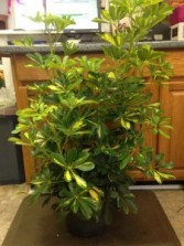 Arboricola Plant