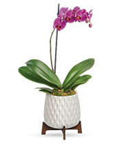 Architectural Orchid
