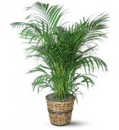 "Areca Palm (10"" pot) plant"
