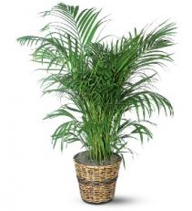 "Areca Palm (10"" pot) plant"