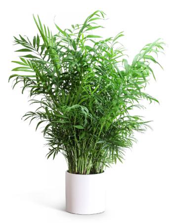 Areca Palm Plant Plant