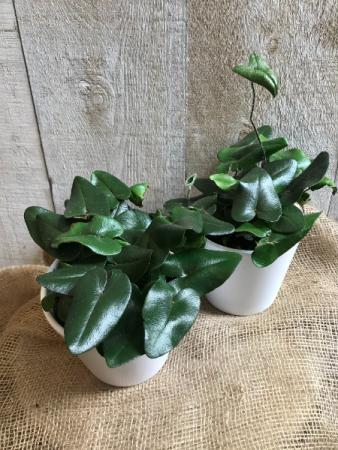 "Arrowhead Fern 5"" Diameter Plant in Ceramic Pot"