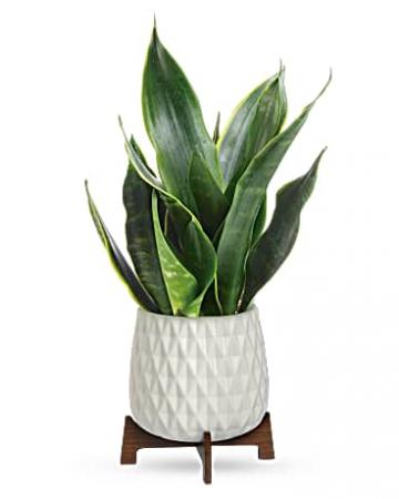 Art Sansevieria Plant Teleflora's Mid-mod Geometric planter