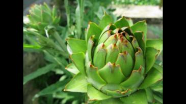 Artichokes Greenhouse