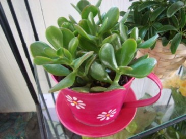 "Cute colored tin in the shape of a teacup. Comes  with a Jade plant as shown OR another 4"" plant !! ( Tin may be a different color design)"