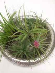 Assorted Air Plants Contemporary