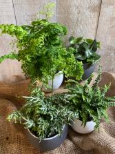 Assorted Ferns 5