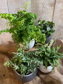 """Assorted Ferns 5"""" potted plants"""