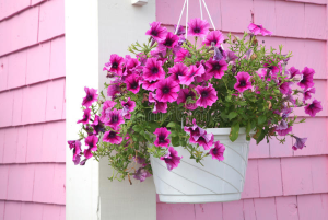 Assorted Hanging Basket  in Charlottesville, VA | PLANTSCAPES FLORIST INC