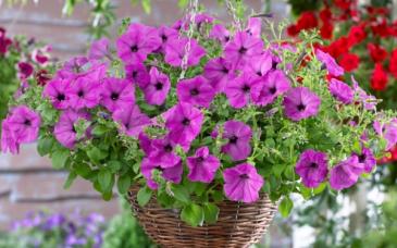 Assorted Hanging Baskets Plants