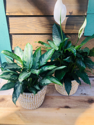 """Assorted 6"""" House Plant  In Beige and White Basket in Iowa City, IA 