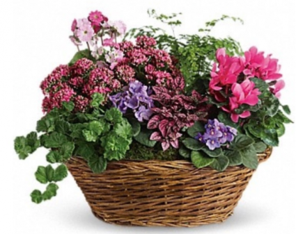 Assorted Mixed Large Plant Basket Plants
