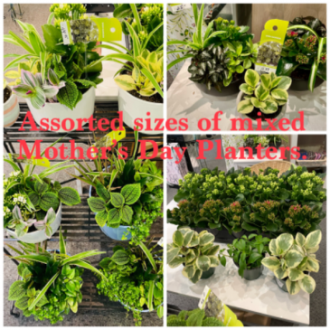 Assorted Mother's Day Planters  Plants