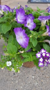 assorted purple and white flowers in 10 inch pot 10 inch outdoor pot