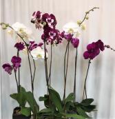 Assortment of Orchids Plants