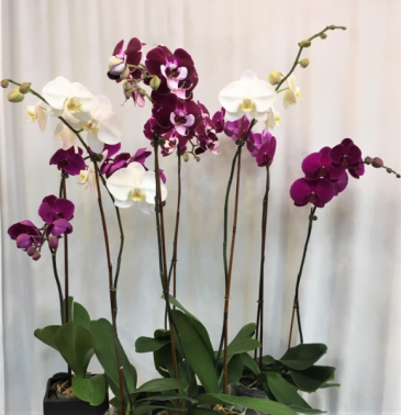 Assortment of Orchids Plants