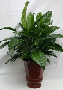 Athas 52 Large Peace Lily