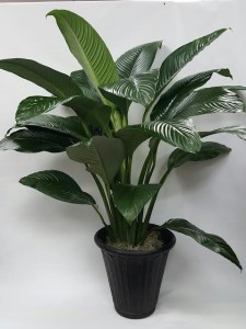 Athas 53 Large Peace Lily Sensation