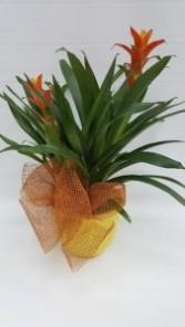 Athas54 Double Bromeliad Plant