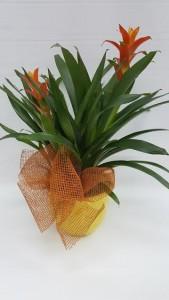 Athas 54 Double Bromeliad Plant