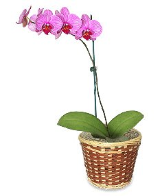 Potted Orchid Plant Blooming Plant