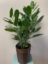 Audrey Bush Plant