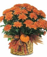 Autumn Mum Plant