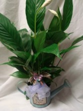 "4"" Peace Lily plant in a novelty watering can with a hummingbird pic and bow! Great Gift!"