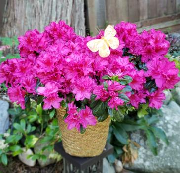 Azalea Beauty Blooming potted plant