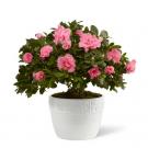 Azalea Blooming Plant