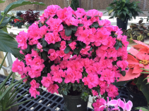 Azalea Hoop Plant