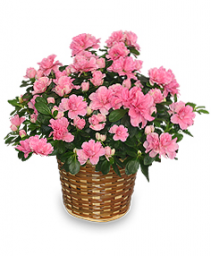 Azalea House Plant Delivery