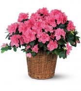 Azalea in a basket
