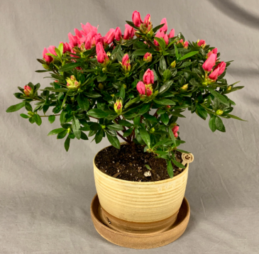 Azalea in Locally Made Planter Plant in Decorative Container