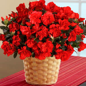 Azalea  Plant in Lexington, NC | RAE'S NORTH POINT FLORIST INC.